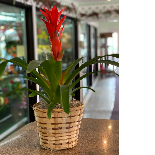 Red bromeliad single