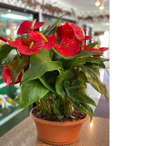 Red Anthurium Large Dish