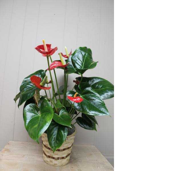 Anthurium Plant - Small