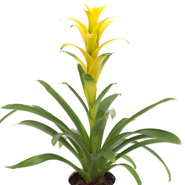 Yellow Bromeliad in a basket