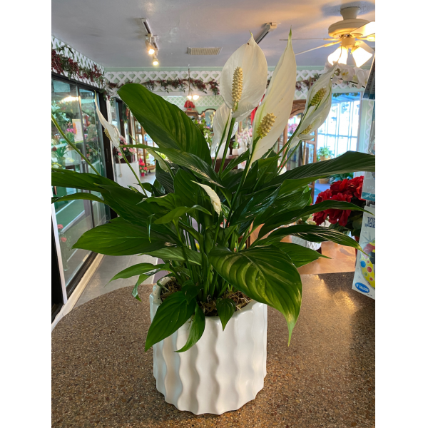 Peace Lily in Wave Ceramic