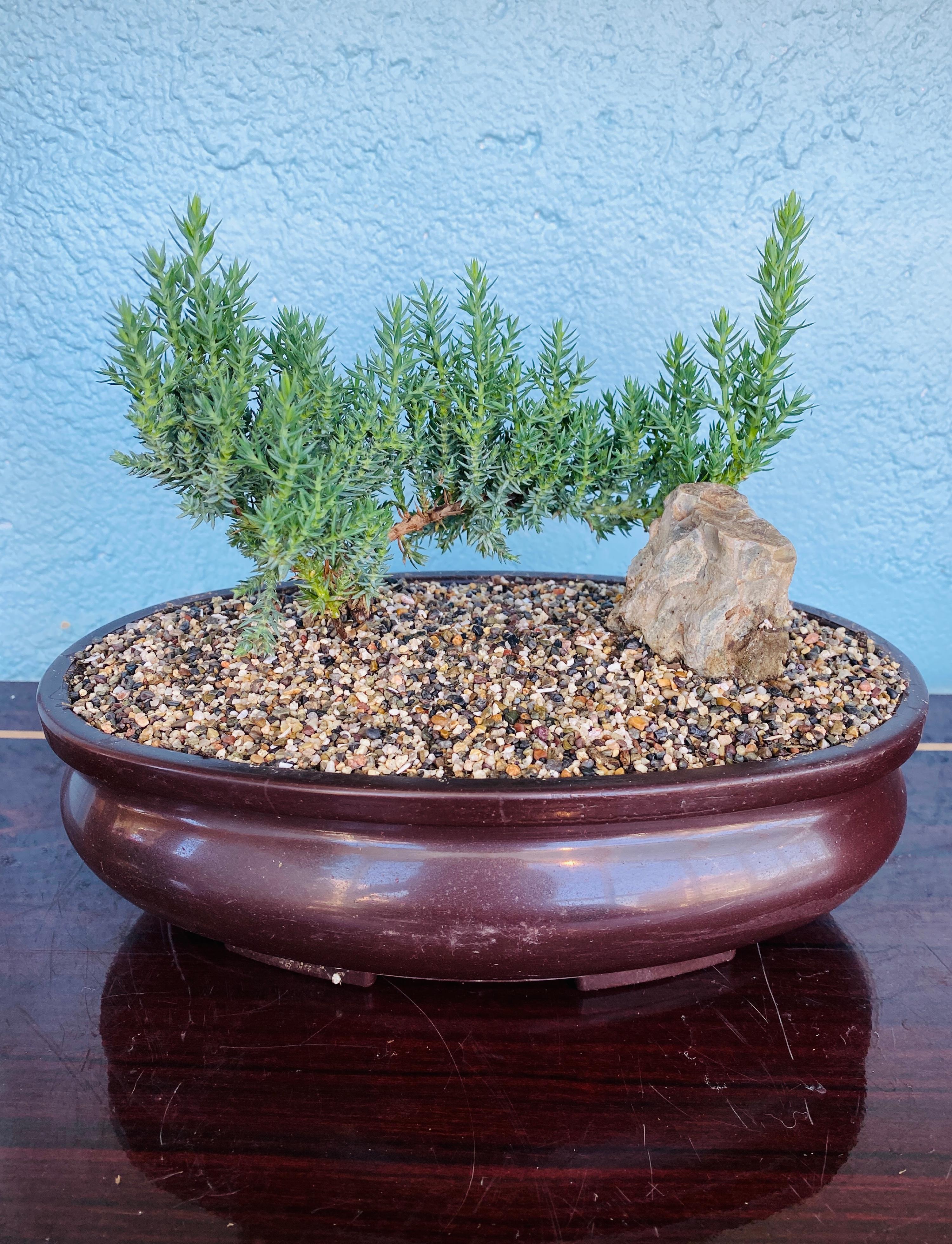 Traditional Juniper Bonsai