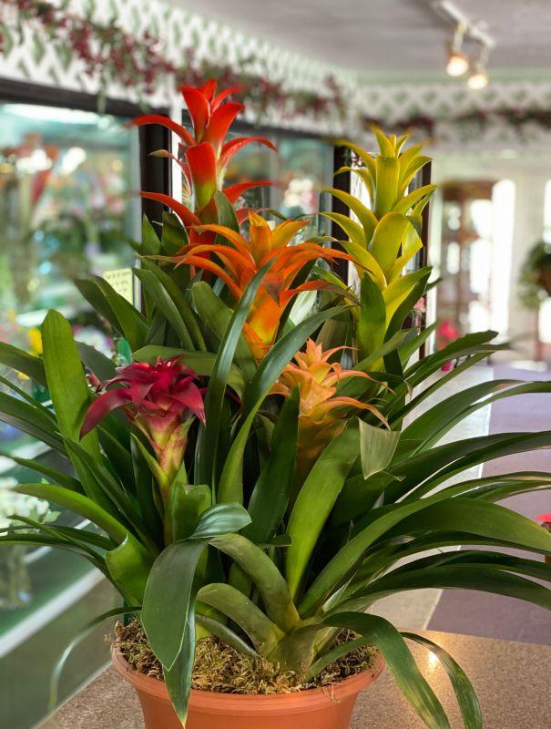 Five Bloom bromeliads