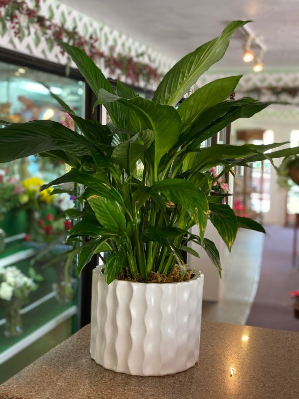 Peace lily in Wave Container Medium