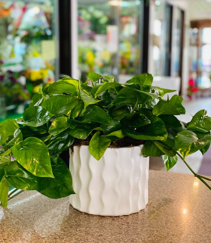 Pothos in Wave container