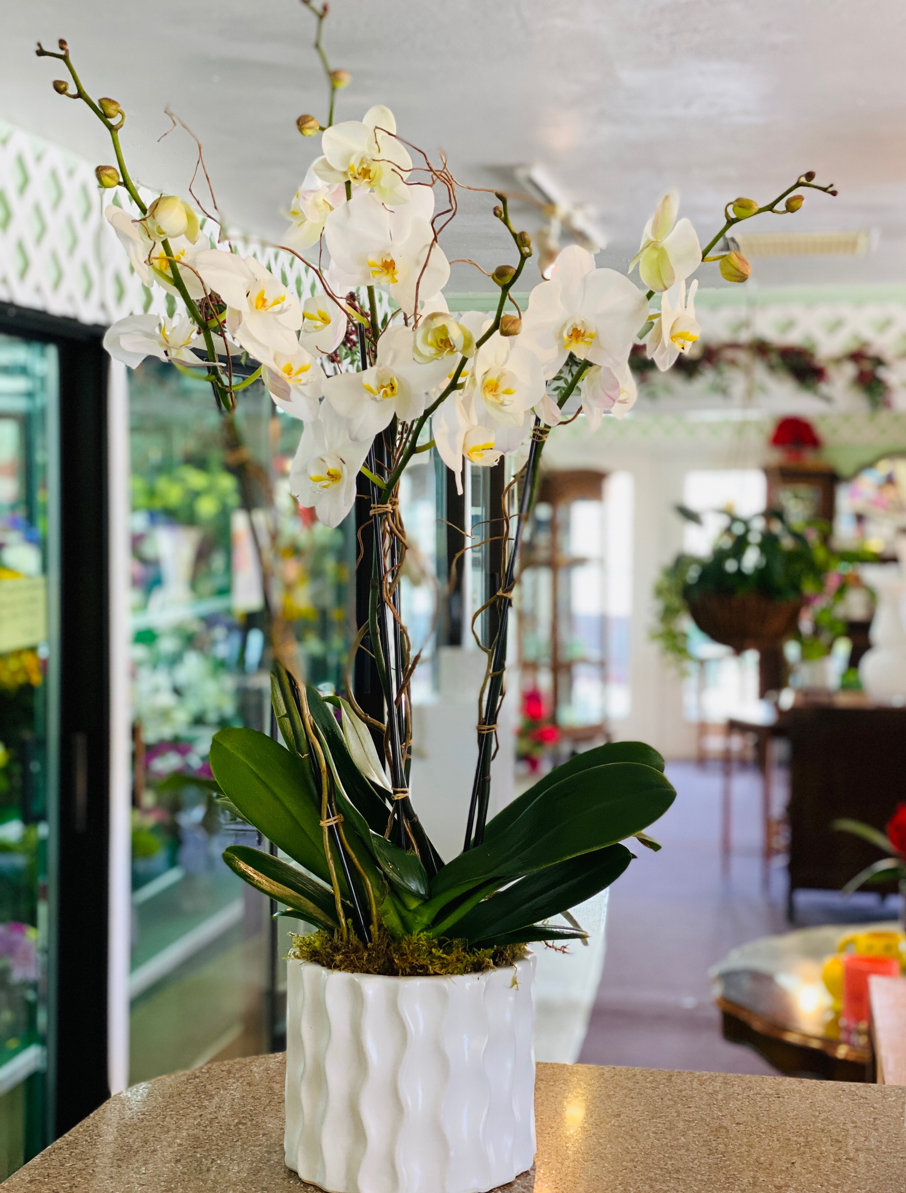 Four Stem Phalaenopsis in wave container