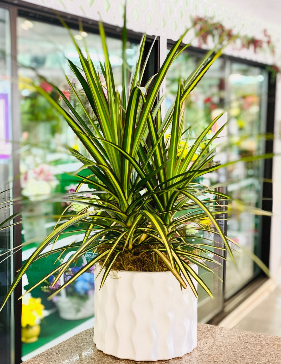 Dracena in Wave container