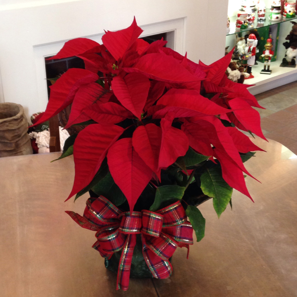 Charming Poinsettia
