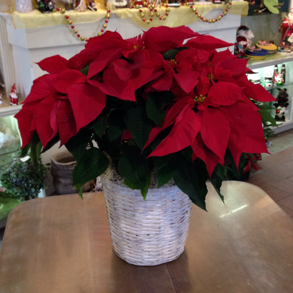 Glorious Poinsettia