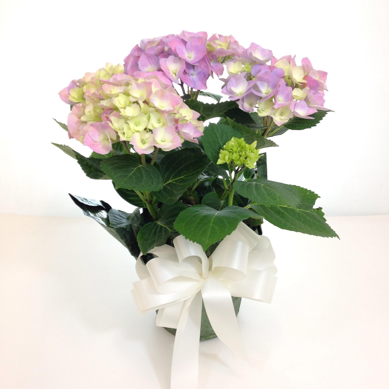 Hydrangea Plant - 6in.