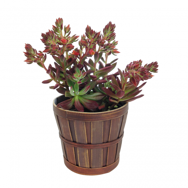 Red Velvet Echeveria Plant