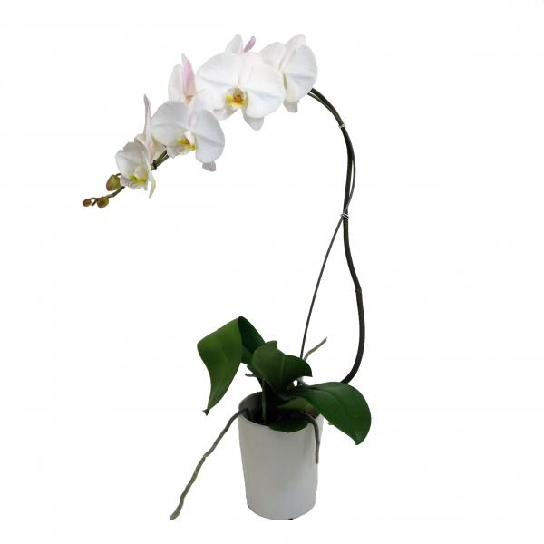 Cascading White Phalaenopsis Orchid