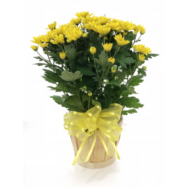 Yellow Chrysanthemum Plant in a Basket