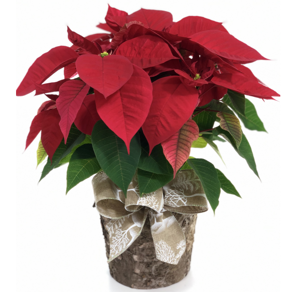 Natural Birch Poinsettia