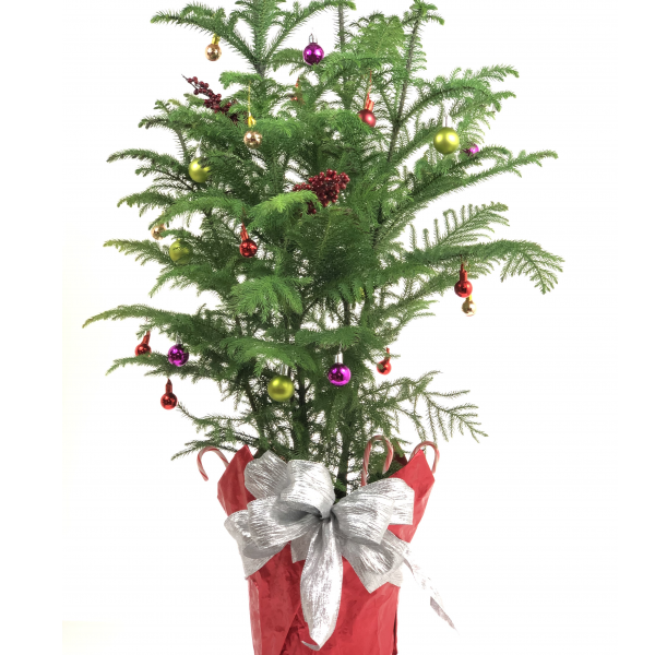 Norfolk Pine - Large - Decorated