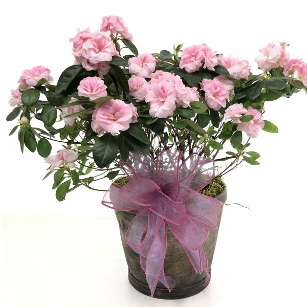 Azalea Plant - 6