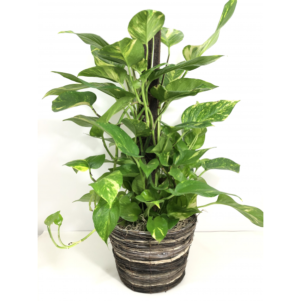 Large Golden Pothos