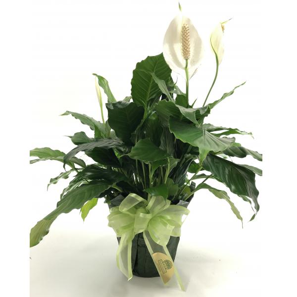 Spathiphyllum 6