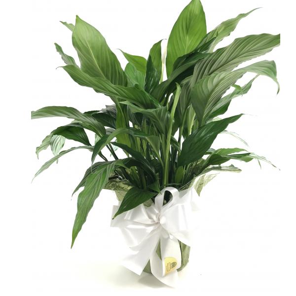 Spathiphyllum - Lg
