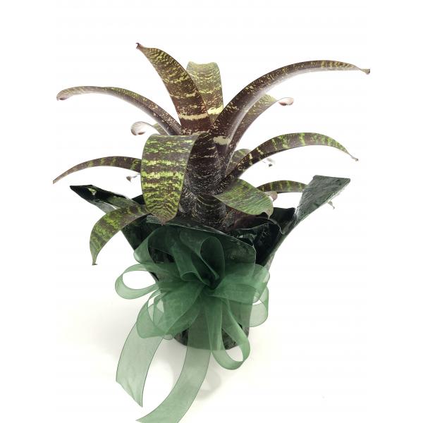 Bromeliad - Vriesea Fosteriana