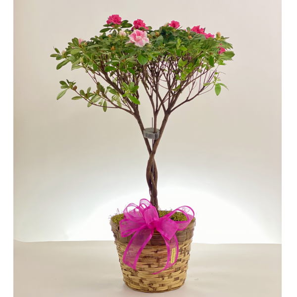Azalea Topiary with Braided Trunk
