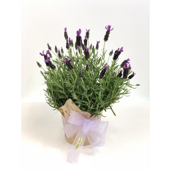 Spanish Lavender Plant - 6in.