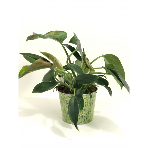 Emerald Queen Philodendron