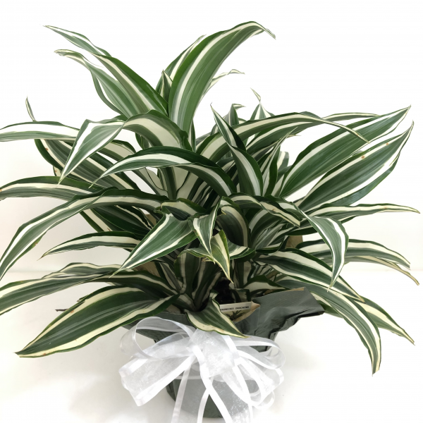 Dracaena White Bird 6