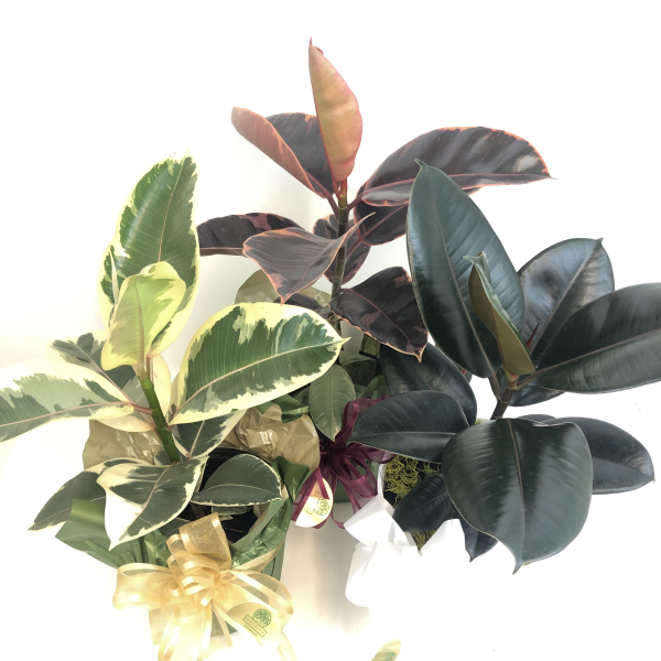 Rubber Plants