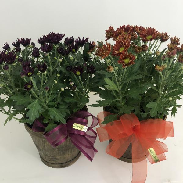Delightful Chrysanthemum in a Basket