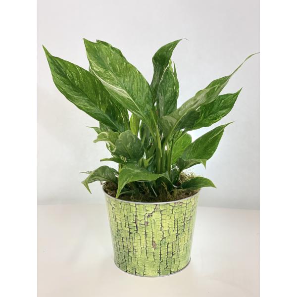 Variegated Spathyphyllum