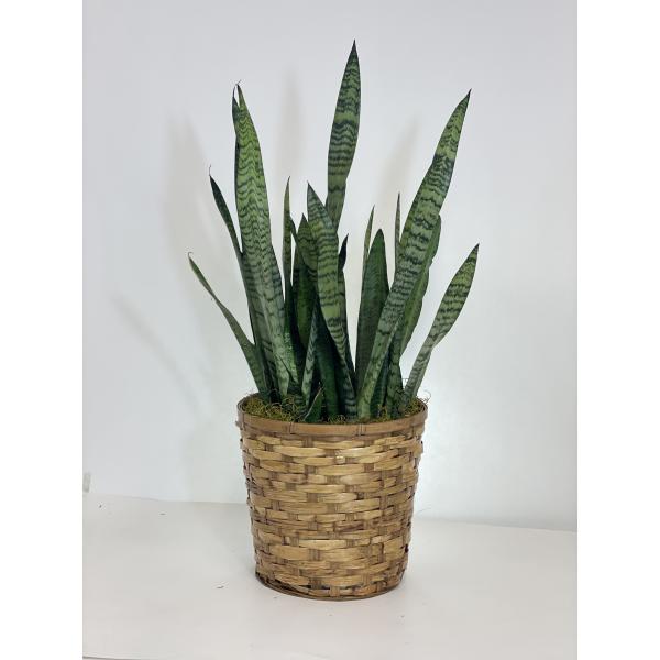 Zeylanica Snake Plant