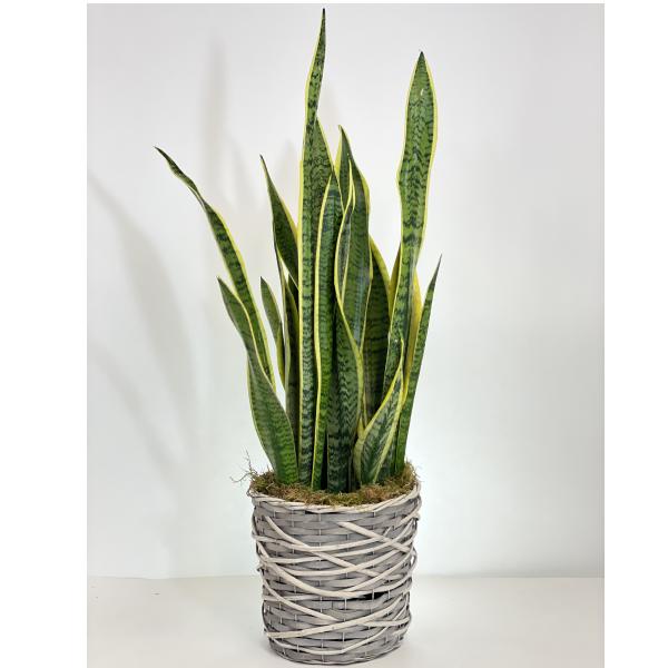 Laurentii Snake Plant