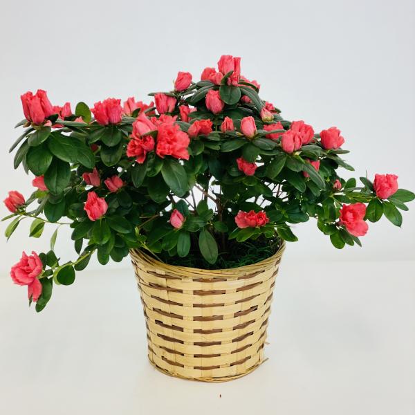 Azalea Plant 6