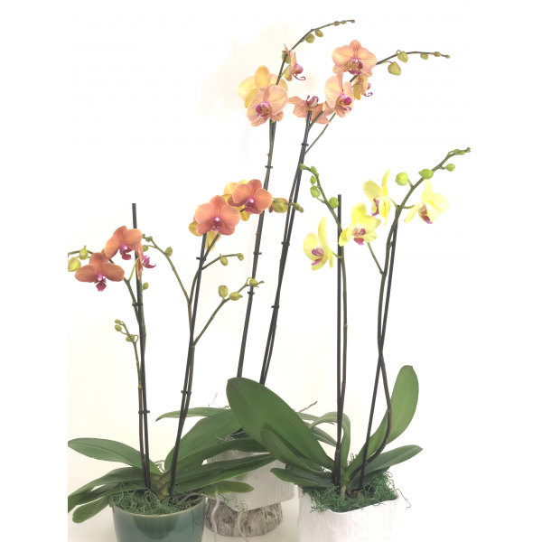 Colored Phalaenopsis Orchid