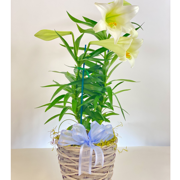 Easter Lily 6