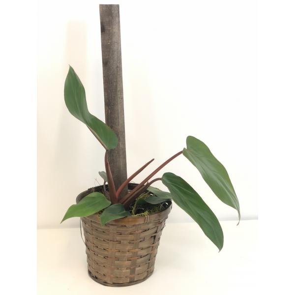 Philodendron Hastatum Pole