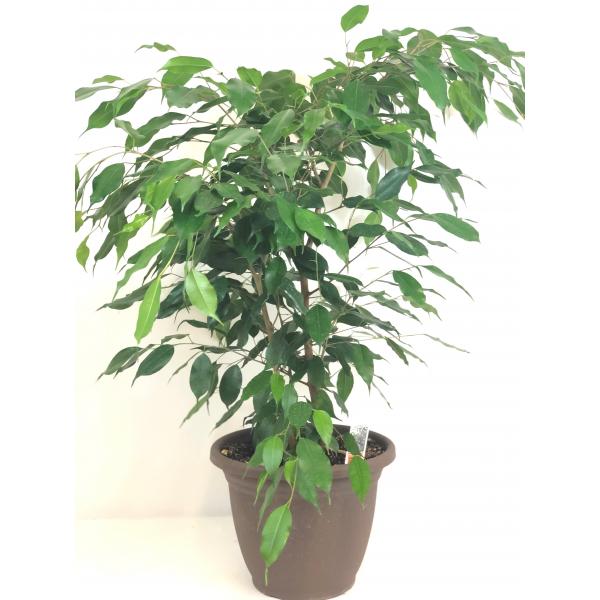 Ficus Benjamina 10