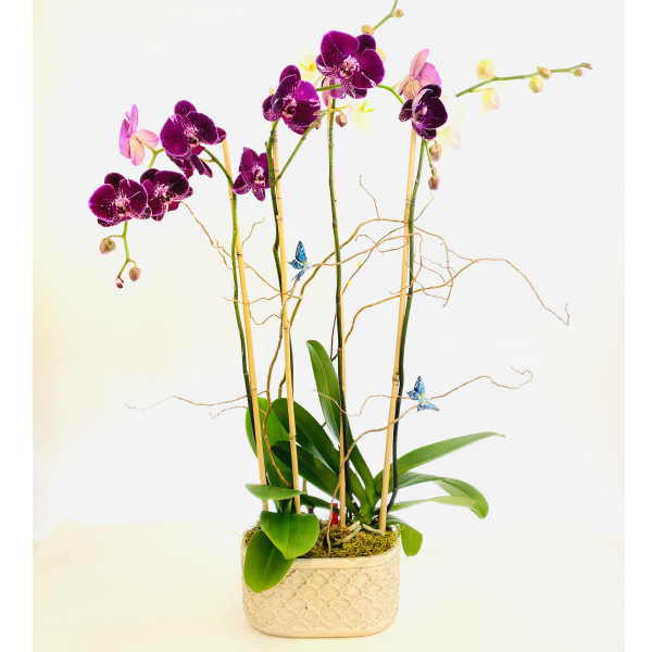 Purple Phalaenopsis Garden