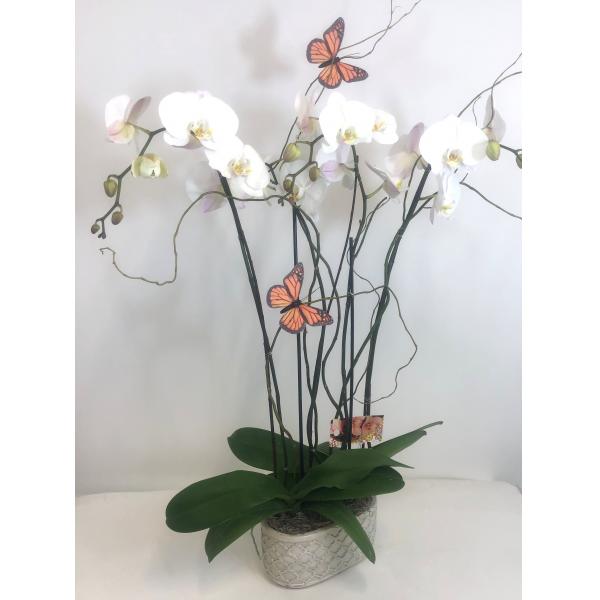 White Phalaenopsis Garden