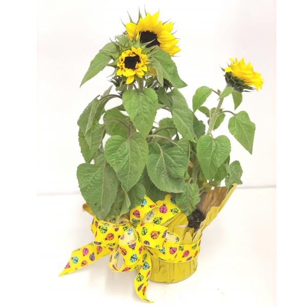Sunflower Plant-- 6