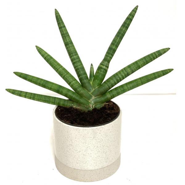 Sansevieria Starfish Plant