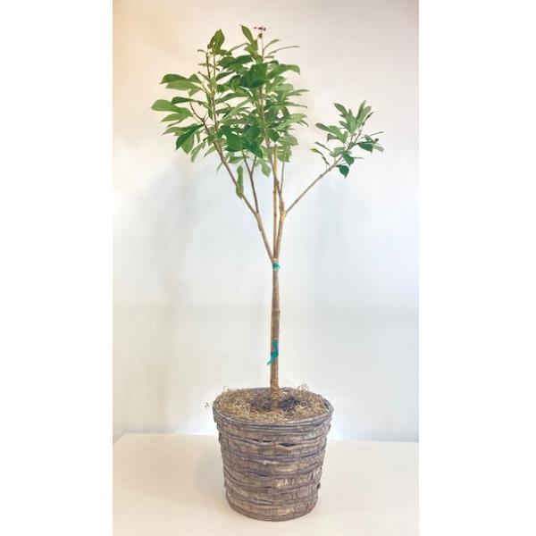 Jatropha Peregrina Plant