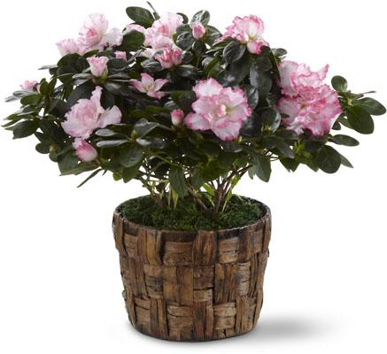The FTD Pink Azalea
