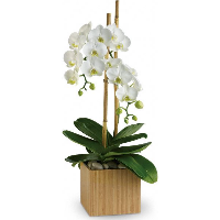 Imperial White Orchid Plant