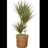 Marginata Plant