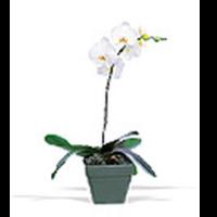 White Phaelenopsis Orchid Plant