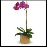 Phaelenopsis Orchid Plant Purple