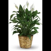 Simply Elegant Spathiphyllum Plant