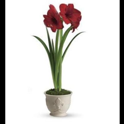 Amaryllis Planter